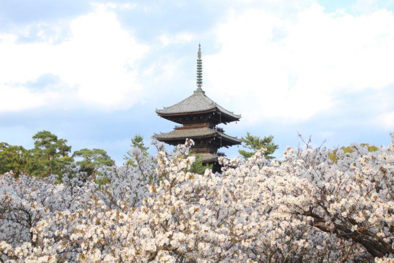京都の遅咲きの桜